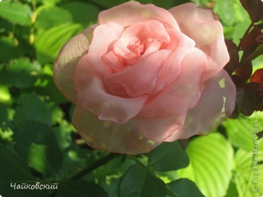 Розы фото 11
