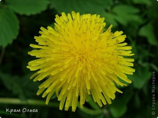 Так цвітуть порічки фото 5