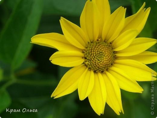 Так цвітуть порічки фото 12