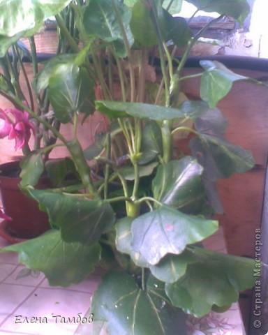 Вот такая пеларгония у меня слепилась. Времени на это у меня ушло много: больше месяца. Все началось в начале июня, когда я купила цветущую пеларгонию. Она была маленькая, красивая и мне очень захотелось слепить такую же. фото 3