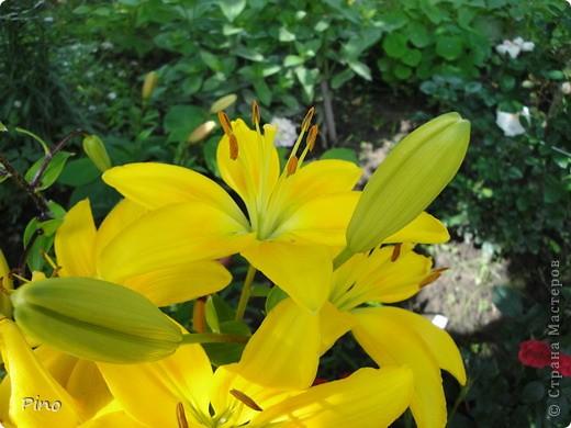 Сначала, я хотела поделится с вами фотографиями лилий, которые растут у нас на даче (мама их очень любит), но пока искала фото, не смогла удержать и в итоге получилась цветочная подборка ^_^ фото 11