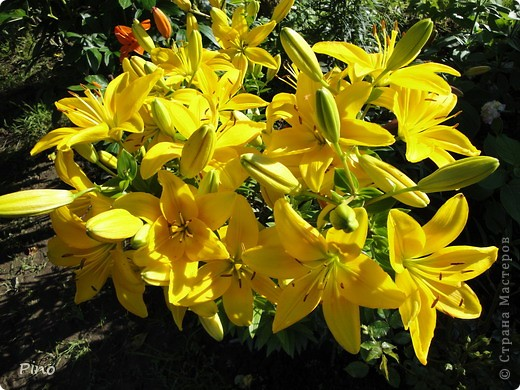 Сначала, я хотела поделится с вами фотографиями лилий, которые растут у нас на даче (мама их очень любит), но пока искала фото, не смогла удержать и в итоге получилась цветочная подборка ^_^ фото 12