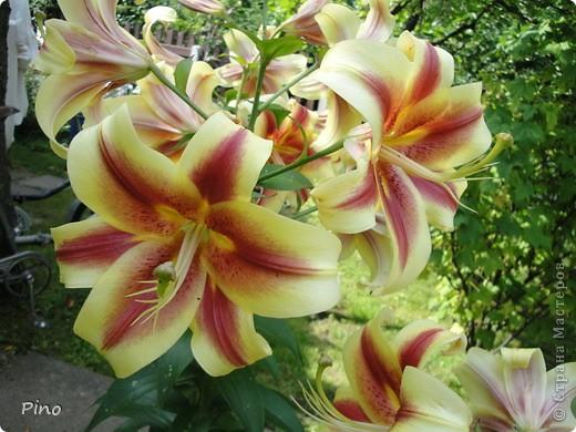 Сначала, я хотела поделится с вами фотографиями лилий, которые растут у нас на даче (мама их очень любит), но пока искала фото, не смогла удержать и в итоге получилась цветочная подборка ^_^ фото 24