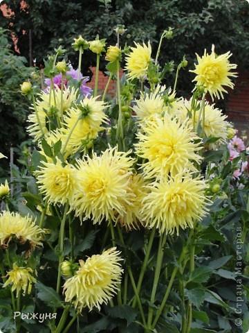 Здравствуй страна! Идет время и в саду происходят перемены. Вот хочу поделиться новостями :) В первую очередь предлагаю посмотреть на лилии. Они недавно распустились. Вот эта сама крупная и думаю сама красивая :) А аромат какой они все источают - прелесть. фото 7
