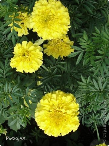 Здравствуй страна! Идет время и в саду происходят перемены. Вот хочу поделиться новостями :) В первую очередь предлагаю посмотреть на лилии. Они недавно распустились. Вот эта сама крупная и думаю сама красивая :) А аромат какой они все источают - прелесть. фото 5