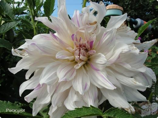 Здравствуй страна! Идет время и в саду происходят перемены. Вот хочу поделиться новостями :) В первую очередь предлагаю посмотреть на лилии. Они недавно распустились. Вот эта сама крупная и думаю сама красивая :) А аромат какой они все источают - прелесть. фото 8