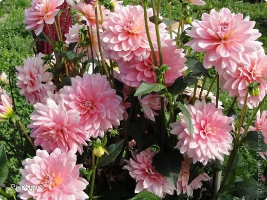 Здравствуй страна! Идет время и в саду происходят перемены. Вот хочу поделиться новостями :) В первую очередь предлагаю посмотреть на лилии. Они недавно распустились. Вот эта сама крупная и думаю сама красивая :) А аромат какой они все источают - прелесть. фото 6
