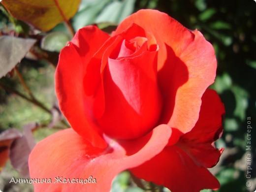 Цветут красавицы розы. фото 2