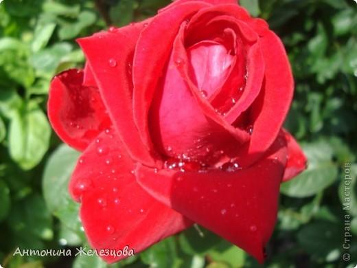Цветут красавицы розы. фото 4