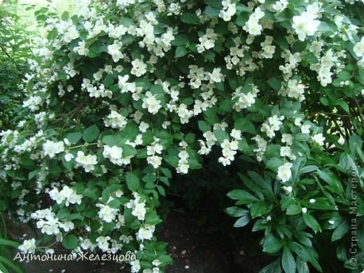 Цветут красавицы розы. фото 15