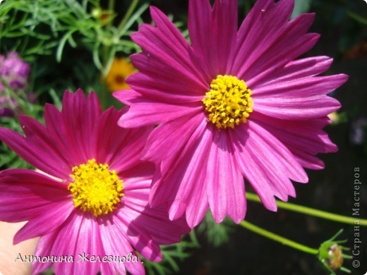 Цветут красавицы розы. фото 6