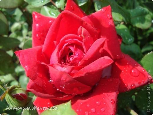 Цветут красавицы розы. фото 5