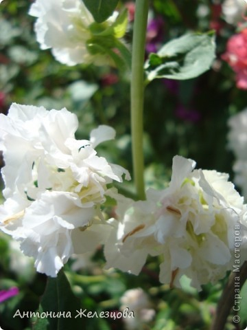 Цветут красавицы розы. фото 11