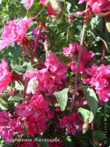 Цветут красавицы розы. фото 12