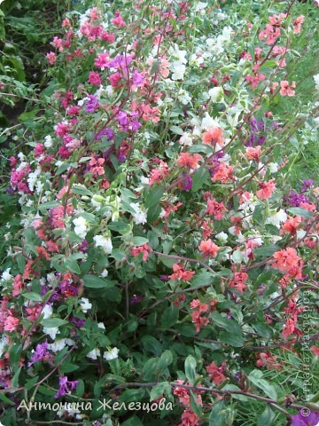 Цветут красавицы розы. фото 13