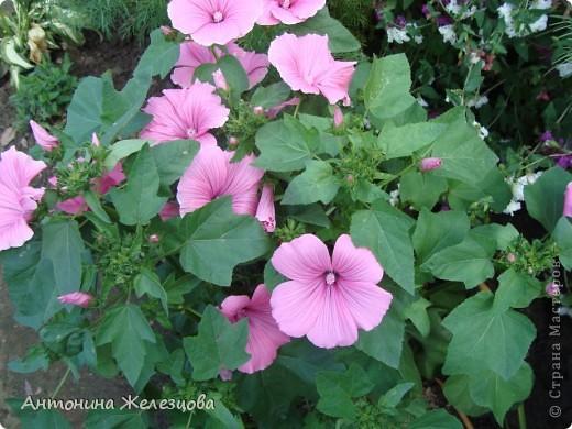 Цветут красавицы розы. фото 17