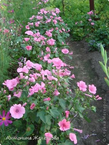 Цветут красавицы розы. фото 19