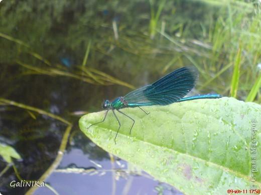 Эта стрекоза заворожила меня своими голубыми крыльями. Впервые вижу такую красавицу! Здесь я покажу место её обитания и представлю свои работы, сделанные под впечатлением виденного. фото 1