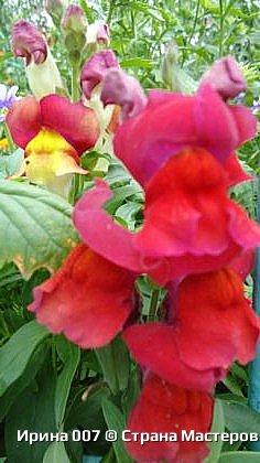 Удачно купила семена львиного зева. Великолепная разнообразная окраска. Сейчас эти цветы радуют прихожан храма Петра и Павла. фото 8