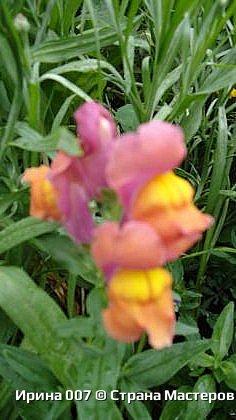 Удачно купила семена львиного зева. Великолепная разнообразная окраска. Сейчас эти цветы радуют прихожан храма Петра и Павла. фото 5