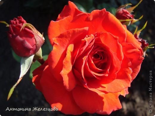 Цветут красавицы розы. фото 34
