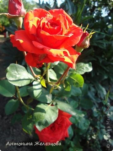 Цветут красавицы розы. фото 35