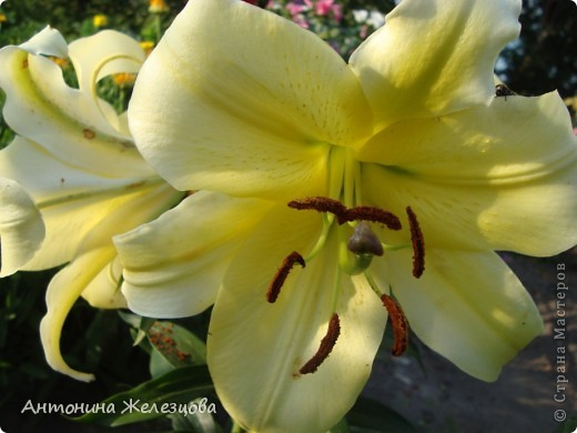 Цветут красавицы розы. фото 29