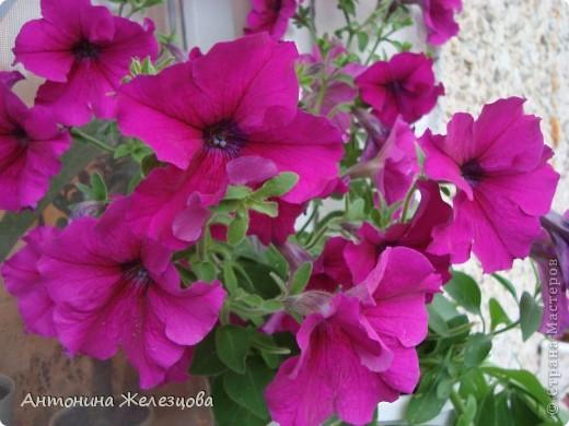 Цветут красавицы розы. фото 32