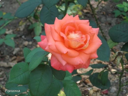 Всем привет! Давненько я не была в нашем дендропарке, наверное, со дня свадьбы. А было это почти 12 лет назад :)). И вот наконец-то мы выбрались туда на прогулку. Приглашаю и вас :)  Сначала мы налюбовались розами. Они встретили нас сразу при входе. фото 5
