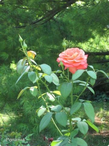 Всем привет! Давненько я не была в нашем дендропарке, наверное, со дня свадьбы. А было это почти 12 лет назад :)). И вот наконец-то мы выбрались туда на прогулку. Приглашаю и вас :)  Сначала мы налюбовались розами. Они встретили нас сразу при входе. фото 6