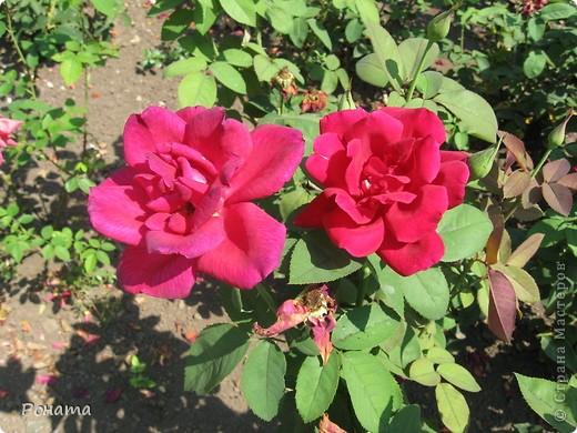 Всем привет! Давненько я не была в нашем дендропарке, наверное, со дня свадьбы. А было это почти 12 лет назад :)). И вот наконец-то мы выбрались туда на прогулку. Приглашаю и вас :)  Сначала мы налюбовались розами. Они встретили нас сразу при входе. фото 11