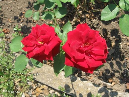 Всем привет! Давненько я не была в нашем дендропарке, наверное, со дня свадьбы. А было это почти 12 лет назад :)). И вот наконец-то мы выбрались туда на прогулку. Приглашаю и вас :)  Сначала мы налюбовались розами. Они встретили нас сразу при входе. фото 13