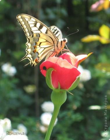 """В розах (http://stranamasterov.ru/node/223279), и не только, я """"охотилась"""" на бабочек и прочих насекомых. Дул ветер, и было очень трудно """"поймать"""" их - цветы качались и бабочки быстро перелетали на другое место. Но мне удалось! Полюбуйтесь!  Махаон на бутоне розы. фото 1"""
