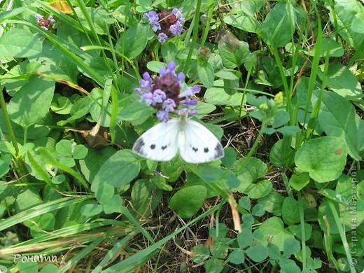 """В розах (http://stranamasterov.ru/node/223279), и не только, я """"охотилась"""" на бабочек и прочих насекомых. Дул ветер, и было очень трудно """"поймать"""" их - цветы качались и бабочки быстро перелетали на другое место. Но мне удалось! Полюбуйтесь!  Махаон на бутоне розы. фото 2"""