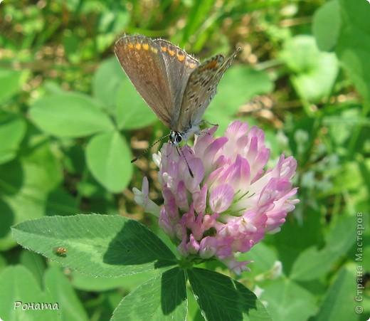 """В розах (https://stranamasterov.ru/node/223279), и не только, я """"охотилась"""" на бабочек и прочих насекомых. Дул ветер, и было очень трудно """"поймать"""" их - цветы качались и бабочки быстро перелетали на другое место. Но мне удалось! Полюбуйтесь!  Махаон на бутоне розы. фото 4"""