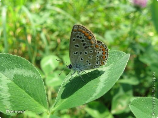 """В розах (http://stranamasterov.ru/node/223279), и не только, я """"охотилась"""" на бабочек и прочих насекомых. Дул ветер, и было очень трудно """"поймать"""" их - цветы качались и бабочки быстро перелетали на другое место. Но мне удалось! Полюбуйтесь!  Махаон на бутоне розы. фото 5"""