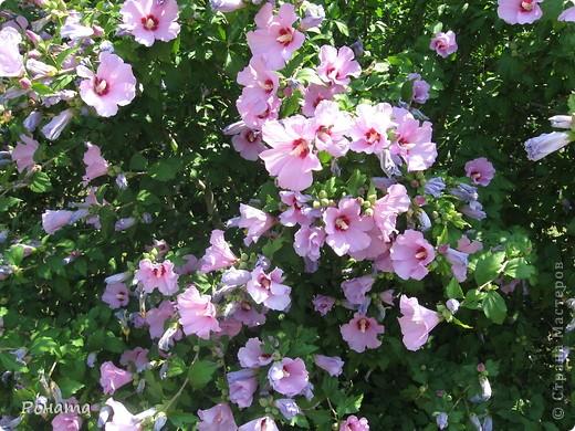 """В розах (http://stranamasterov.ru/node/223279), и не только, я """"охотилась"""" на бабочек и прочих насекомых. Дул ветер, и было очень трудно """"поймать"""" их - цветы качались и бабочки быстро перелетали на другое место. Но мне удалось! Полюбуйтесь!  Махаон на бутоне розы. фото 7"""