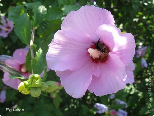 """В розах (http://stranamasterov.ru/node/223279), и не только, я """"охотилась"""" на бабочек и прочих насекомых. Дул ветер, и было очень трудно """"поймать"""" их - цветы качались и бабочки быстро перелетали на другое место. Но мне удалось! Полюбуйтесь!  Махаон на бутоне розы. фото 8"""