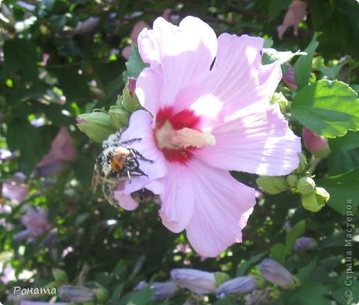 """В розах (https://stranamasterov.ru/node/223279), и не только, я """"охотилась"""" на бабочек и прочих насекомых. Дул ветер, и было очень трудно """"поймать"""" их - цветы качались и бабочки быстро перелетали на другое место. Но мне удалось! Полюбуйтесь!  Махаон на бутоне розы. фото 10"""