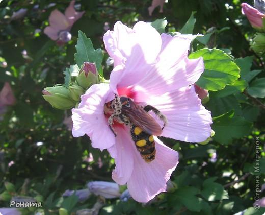 """В розах (http://stranamasterov.ru/node/223279), и не только, я """"охотилась"""" на бабочек и прочих насекомых. Дул ветер, и было очень трудно """"поймать"""" их - цветы качались и бабочки быстро перелетали на другое место. Но мне удалось! Полюбуйтесь!  Махаон на бутоне розы. фото 11"""