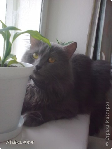 Всем привет! Сегодня я решила сделать фоторепортаж о моем любимом коте Персике. О себе он сейчас все сам расскажет... фото 13