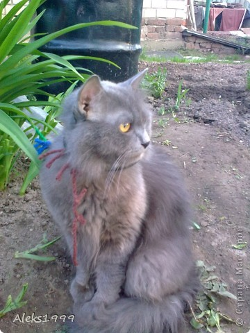 Всем привет! Сегодня я решила сделать фоторепортаж о моем любимом коте Персике. О себе он сейчас все сам расскажет... фото 11