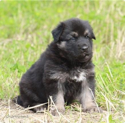 Это моя Гретта - восточноевропейская овчарка, у неё родились щенки ... фото 14