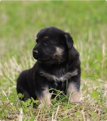 Это моя Гретта - восточноевропейская овчарка, у неё родились щенки ... фото 13
