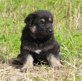 Это моя Гретта - восточноевропейская овчарка, у неё родились щенки ... фото 15