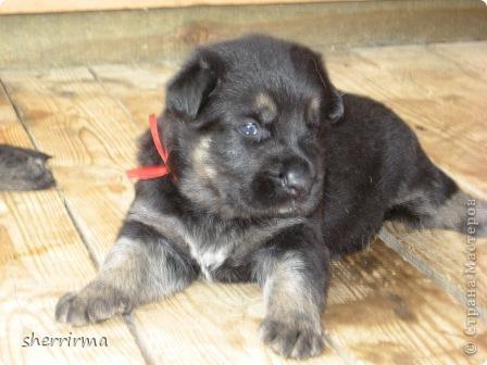Это моя Гретта - восточноевропейская овчарка, у неё родились щенки ... фото 6