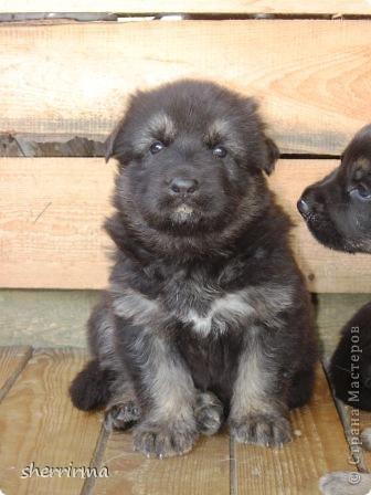Это моя Гретта - восточноевропейская овчарка, у неё родились щенки ... фото 12