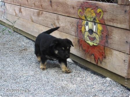 Это моя Гретта - восточноевропейская овчарка, у неё родились щенки ... фото 17
