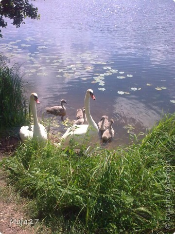 Вот какую семью красавцев мне удалось снять на реке. фото 1