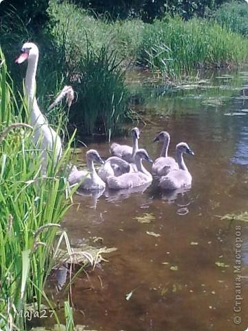 Вот какую семью красавцев мне удалось снять на реке. фото 2